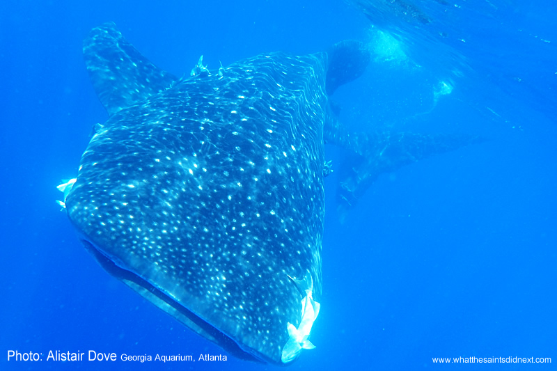 The awesome whale shark.