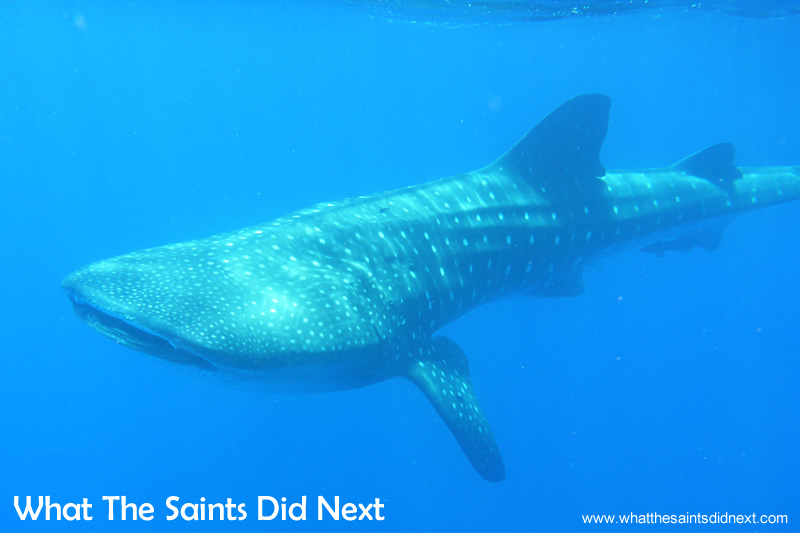 These are lovely moments when the whale shark turns around and swims by.