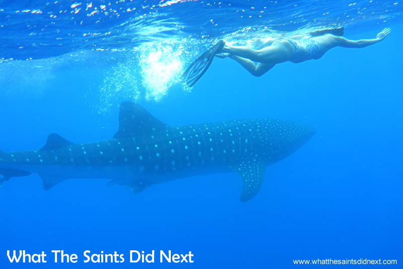 Trying to keep up - the whale sharks move deceptively quick.