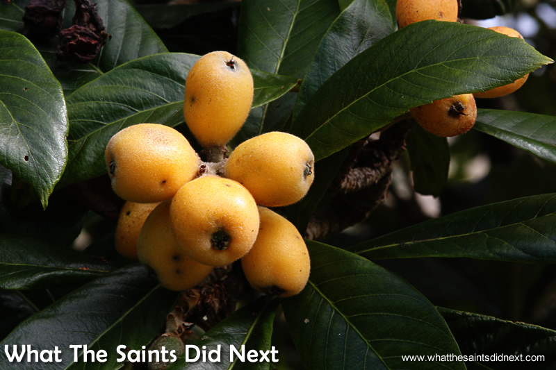 The delicious locquat fruit that can be found on the roadsides when in season.