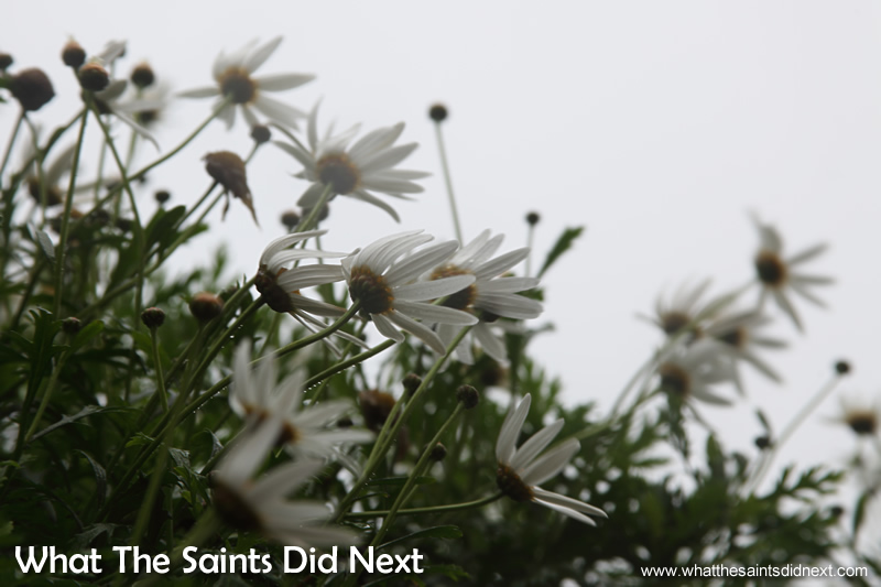 Wind battered daisies on the roadsides through Longwood.
