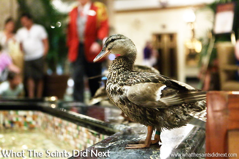 March of the Peabody Ducks at the Peabody Hotel fountain, completely at ease with all the people crowding around to take pictures.