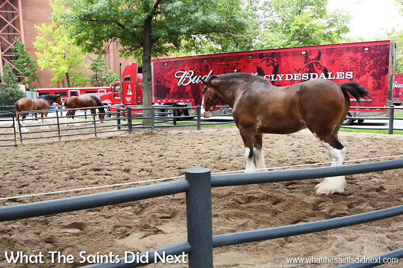Anheuser-Busch owns 170 Clydesdale horses and have three travelling hitches, each consisting of 8 horses. Each horse gets a custom-made collar.