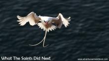 Red billed tropic bird flying over St Helena Island.