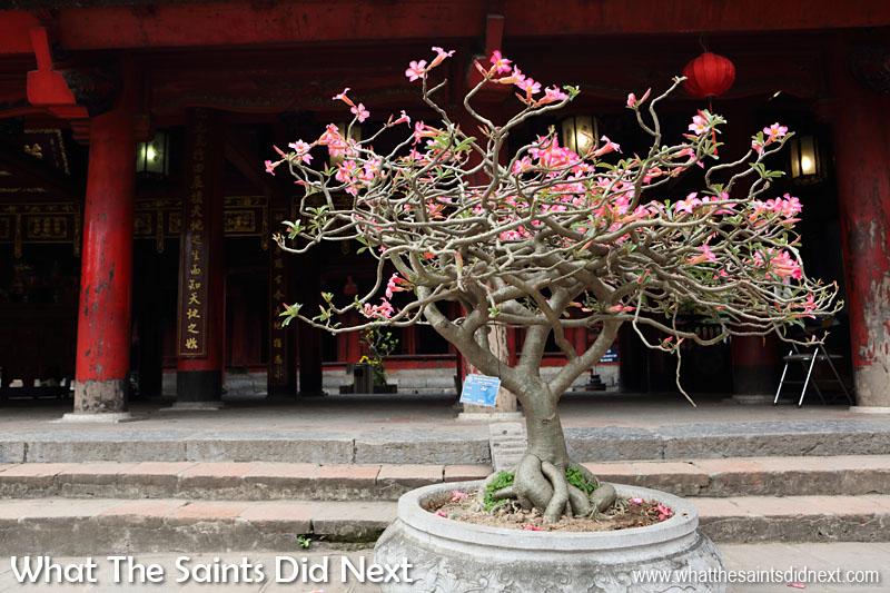 Temple of Literature, Hanoi, Vietnam. A flowering bonsai tree in the 'Sage Sanctuary' courtyard.