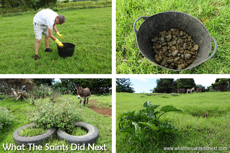 Top left: Miles Leask helping out with the Saturday poo clearance. Top right: A bucket full of garden goodness. Donkey manure retains water and releases nutrients into garden soil. Funnily enough there is no bad smell (honest). Bottom left: These tyres mark the grave site Basil the donkey. Bottom right: Another donkey grave, this is where Lily is laid to rest.