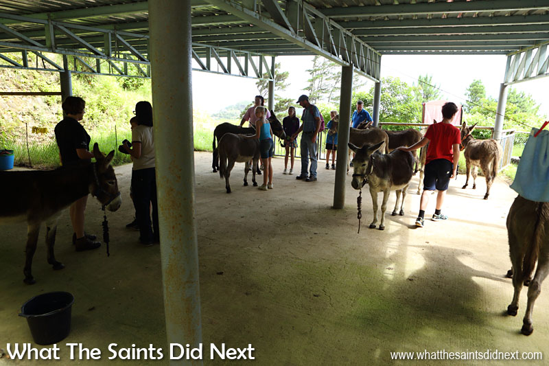 Donkeys being paired up with visitors ready to begin the Saturday walk.