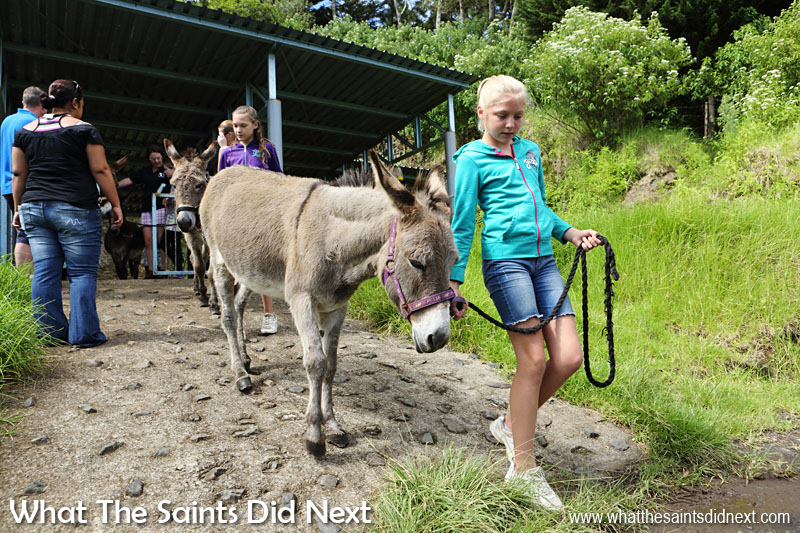 Safety talk complete it's time to begin the walk. Everyone carefully makes their way down the ramp from the St Helena Donkey Home and onto the road. The donkeys don't like the sloping concrete path and take tiny little steps on this bit!