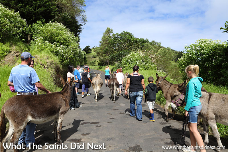 And they're off - donkey walking along the country road of Blue Hill on a beautiful Saturday morning. St Helena Donkey Home.