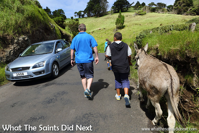 """The donkeys are very comfortable walking on the road with cars passing by. Walkers at the head of the line shout out """"car"""" to warn us to keep to the side. St Helena Donkey Home."""