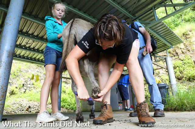 Donkey grooming at the end of the walk - Helen doing the hoof cleaning, all vital tasks to keep the animals healthy. The St Helena Donkey Home.