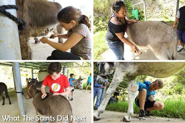 Everyone gets stuck in helping with donkey grooming after the walk. St Helena Donkey Home.