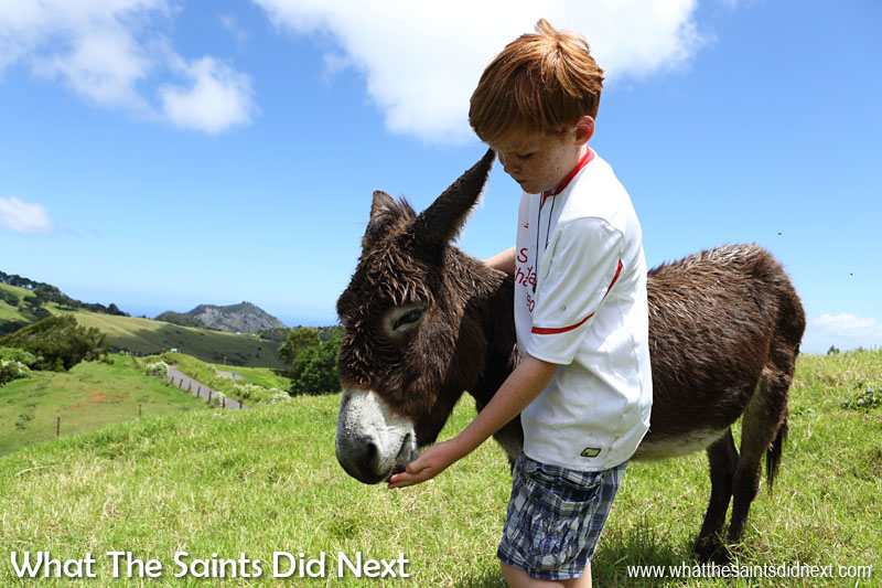 Geoffrey the foal is a little timid around Darrin and me, but he is happy to see Matthew and even more so to take carrot treats from him. St Helena Donkey Home.