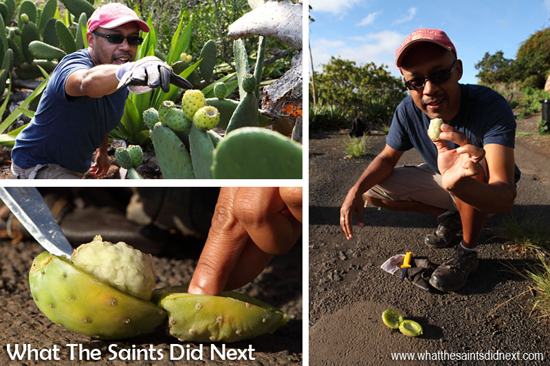These pictures make Darrin look better at picking tungi and opening it up than he was!! These cactus bushes are growing right alongside the road in Half Tree Hollow, St Helena.
