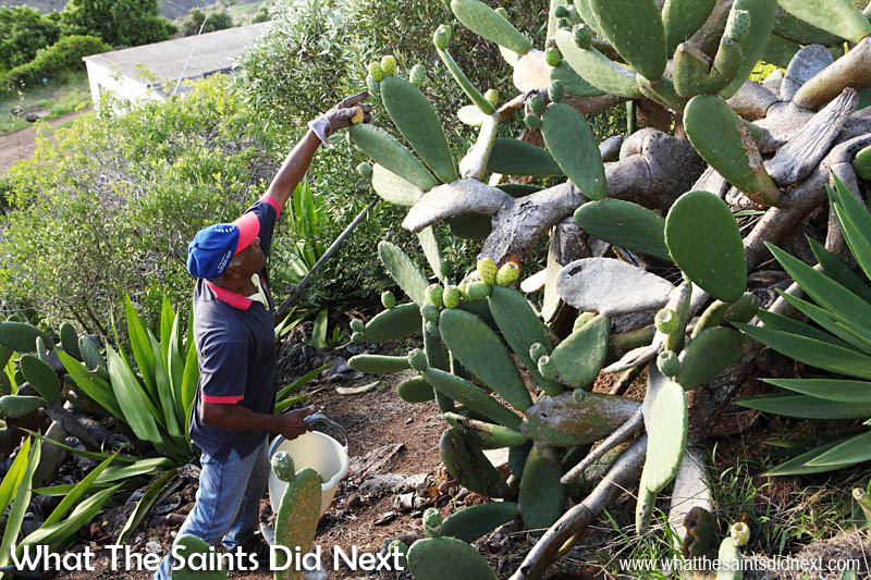 Picking tungi on St Helena it is not unusual to be surrounded by not only spiky hairs and prickles but also aloe bushes, and it always seems to be on a slope!