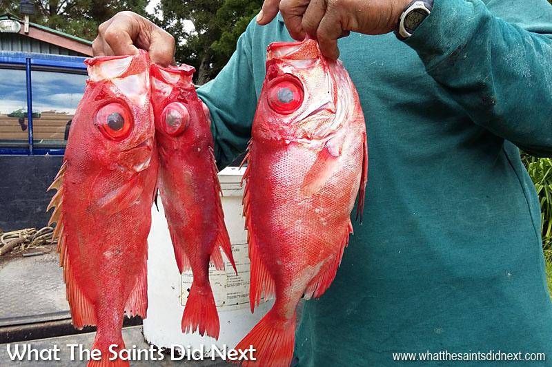 Fish has long been a staple of the Saint diet. On St Helena these bullseyes are a favourite fish for the dinner table.