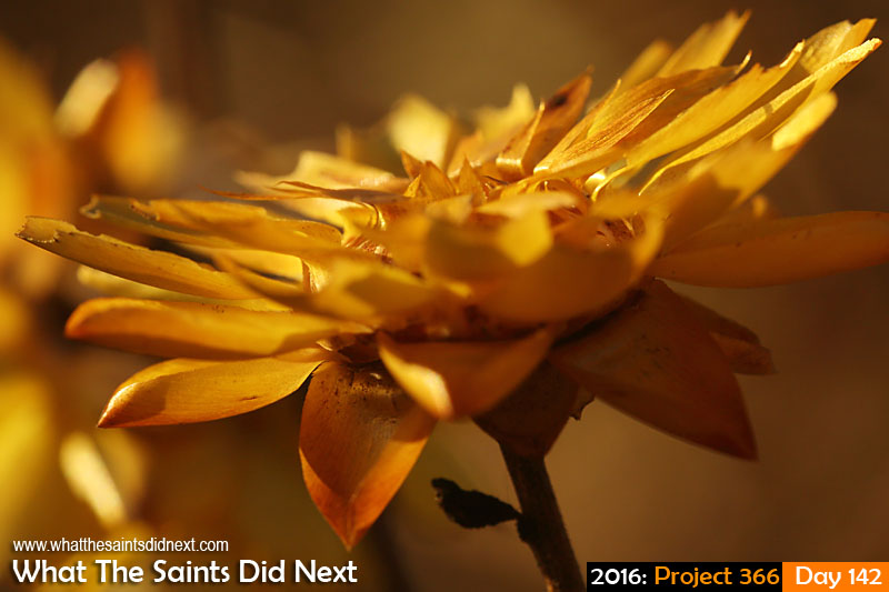 'Eagles & Devils' 21 May 2016, 17:30 - 1/160, f/11, ISO-400 What The Saints Did Next - 2016 Project 366 Everlasting flower.
