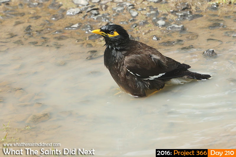 'Deal me in' 28 July 2016, 11:45 - 1/400, f/7.1, ISO-400 What The Saints Did Next - 2016 Project 366 A mynah bird bath.