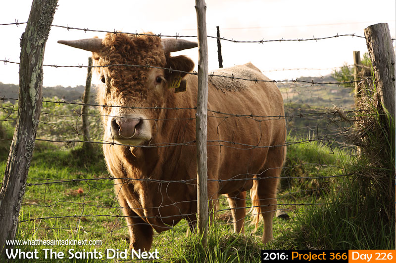 'Defender defeat' 13 August 2016, 16:47 - 1/200, f8, ISO-200 What The Saints Did Next - 2016 Project 366 A curious bull in Levelwood.