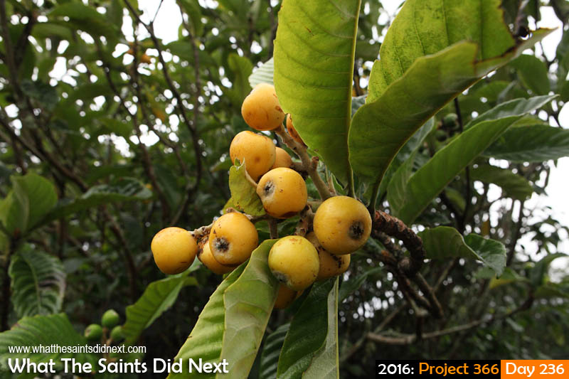 'Arms' 23 August 2016, 16:37 - 1/250, f9, ISO-400 What The Saints Did Next - 2016 Project 366 Loquat fruit in season at Kunjie Field on St Helena.