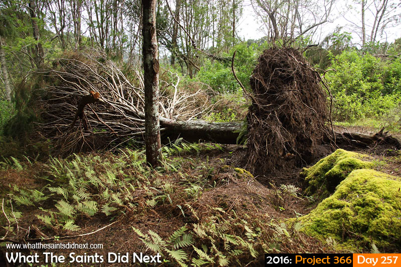'Junior' 13 September 2016, 08:26 - 1/125, f5.6, ISO-400 What The Saints Did Next - 2016 Project 366 When a tree falls in a St Helena forest...