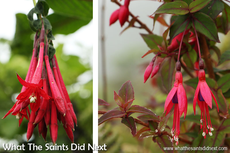 Pretty but not native. The 'Bolivian fuchsia' (left) and 'trailing fuchsia' are found on the upper ridges of Diana's Peak National Park. The trailing fuchsia especially is described as a problematic invasive in sensitive, endemic-rich habitats.