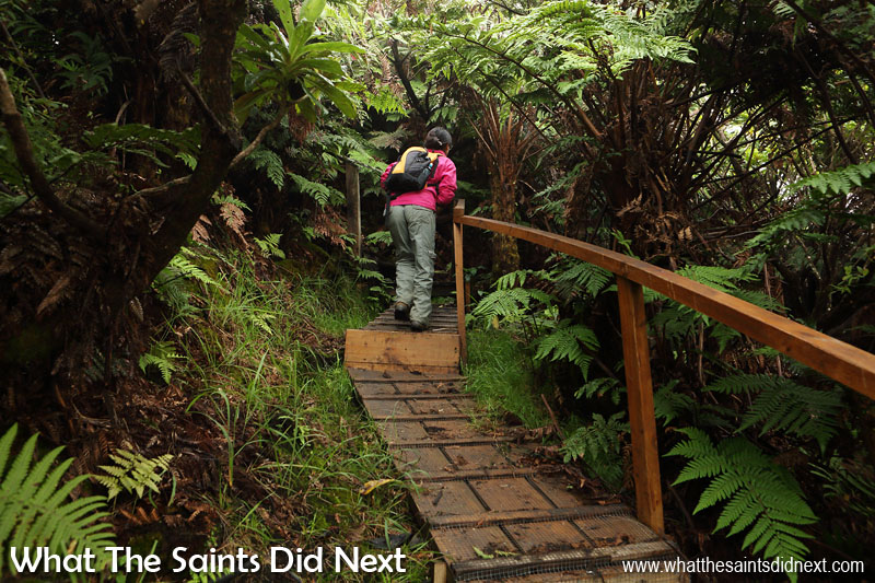 Just below Mount Actaeon the trail leads under the tree fern canopy. The boardwalks have been built in the more difficult parts of the trail, another part of the conservation team's work. Diana's Peak National Park, St Helena Island.