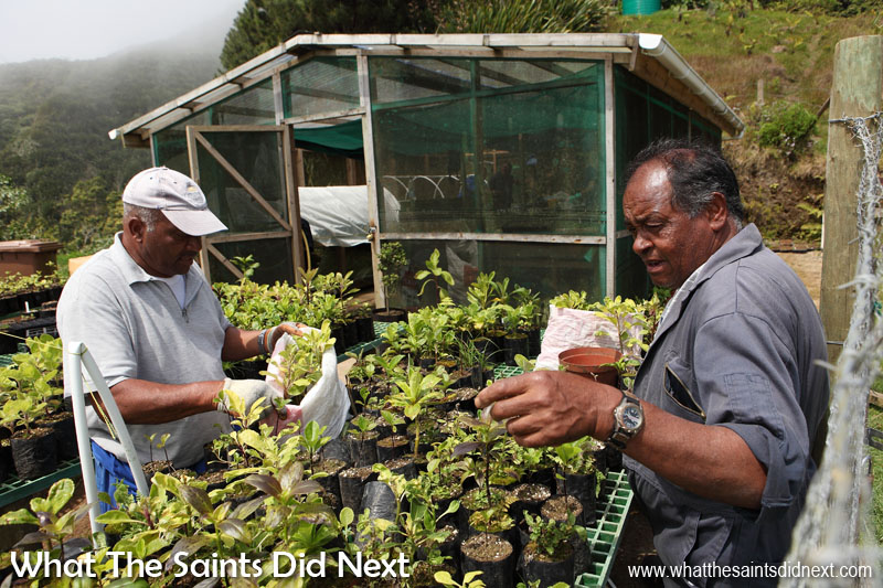 William Crowie (left) and Leslie Benjamin, picking out seedlings from the nursery to take up on the peaks for planting. Diana's Peak National Park, St Helena Island.