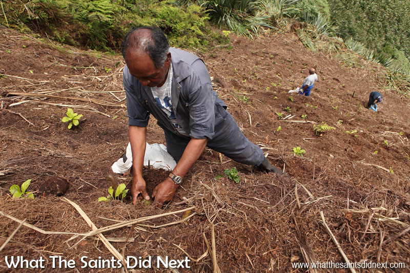 On the slope with Leslie Benjamin, planting endemics. Diana's Peak National Park, St Helena Island.