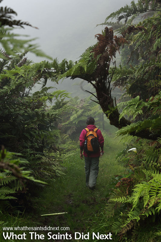 The peaceful experience of hiking in the cloud forest beneath the St Helena endemic vegetation. Diana's Peak National Park, St Helena Island.
