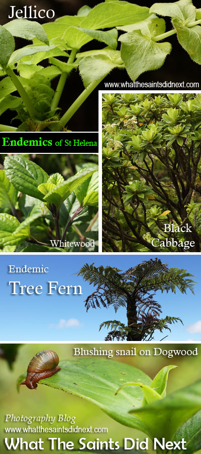 Endemic plants of St Helena Island: Jellico, Whitewood, Black Cabbage, Tree Fern and Dogwood. The blushing snail on the Dogwood is also endemic to St Helena.
