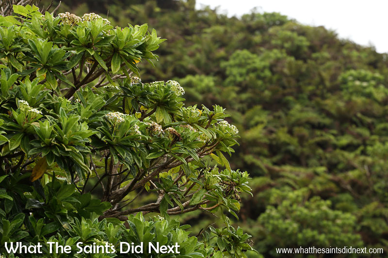 The endemic forest thicket of black cabbage and tree ferns. Diana's Peak National Park, St Helena Island.