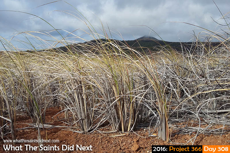 'Happy Cubs' 3 November 2016, 16:25 - 1/994, f2.4, ISO-50 - Samsung Galaxy A3 What The Saints Did Next - 2016 Project 366 Afternoon landscape on a windy day on St Helena.