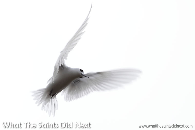 Usually we prefer sunshine and blue skies, however, this cloudy sky worked great for this white tern shot taken during a stroll around the Francis Plain area. The beautiful wing feathers were 'frozen' by using a 1/500 sec shutter speed. Photographing white terns (gygis alba) on St Helena.