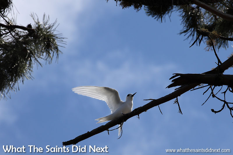 White terns don't build conventional nests in trees, instead they lay eggs and balance them on tree branches. The parent birds take turns to look after the egg; changing over can be a delicate operation. Photographing white terns (gygis alba) on St Helena.