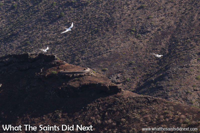 From the top of Cow Path in Half Tree Hollow, hundreds of white terns can be seen returning from fishing at about 8am, flying against the breeze back to the forests around Francis Plain. Photographing white terns (gygis alba) on St Helena.