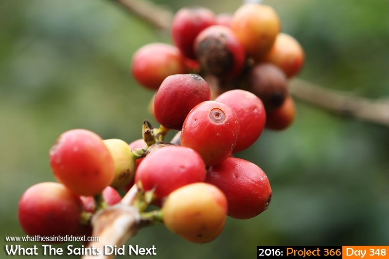 'Bringing the House down' 13 December 2016, 10:26 - 1/100, f6.3, ISO-200 What The Saints Did Next - 2016 Project 366 St Helena coffee growing in Sandy Bay.