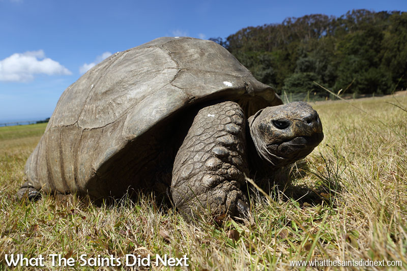 Things To Do With Kids On St Helena - Tortoise Jonathan is believed to be 185 years old and therefore probably the oldest living land animal on earth.