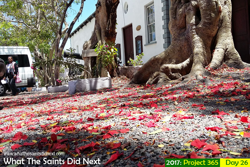 'Two and half minutes' 26 January 2017, 11:37 - 1/395, f2.4, ISO-50 - Samsung Galaxy A3 What The Saints Did Next - 2016 Project 365. Fallen red flame tree flowers outside the courthouse in Jamestown, St Helena.