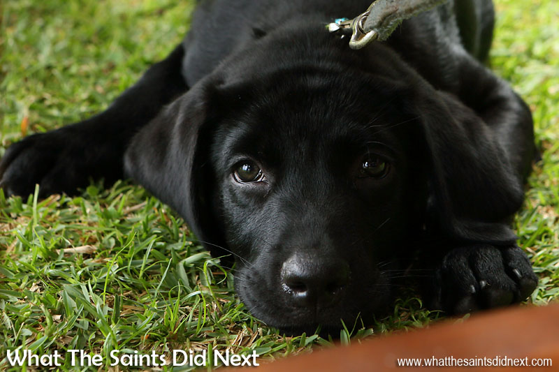 Time for a little rest, these are irresistible puppy dog eyes. New Dogs, Old Tricks - Dusty's Dozen.