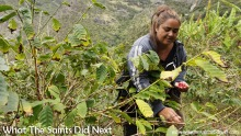 St Helena Coffee by Solomon & Company being grown on the slopes of Sandy Bay.