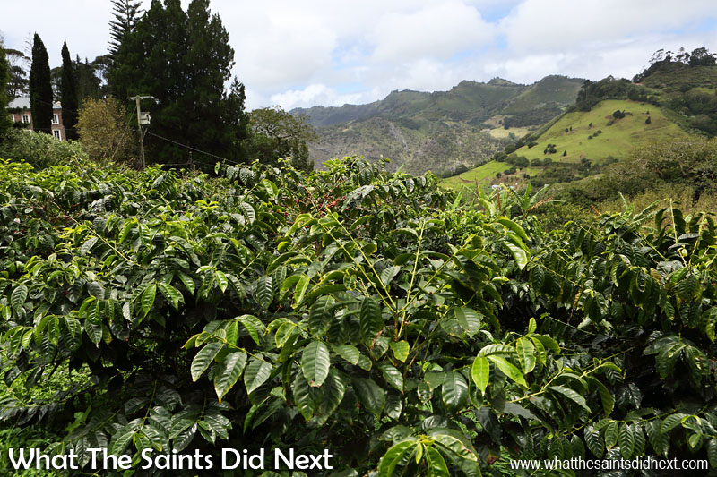 Coffee trees growing in the Wrangham's Plantation in Sandy Bay. Wrangham's itself can be seen through the trees on the left. St Helena Coffee by Solomon & Co.