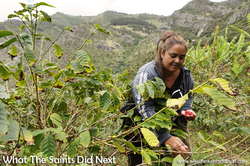Tracey Duncan picking coffee at Solomon's, Bamboo Hedge Plantation in Sandy Bay. St Helena Coffee by Solomon & Co.