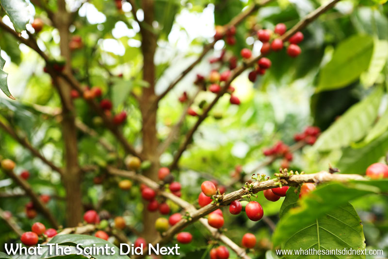 Ripe coffee cherries at the Bamboo Hedge Plantation in Sandy Bay. St Helena Coffee by Solomon & Co.