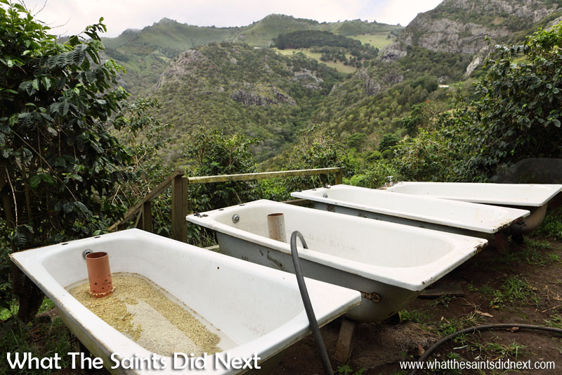 The washing process involves a 5 day soak in the bath. St Helena Coffee by Solomon & Co.