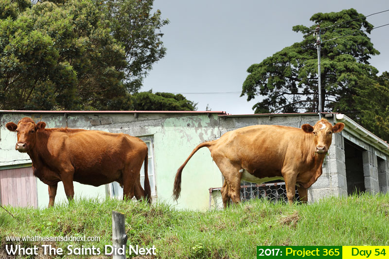 'My name is Doris' 23 February 2017, 10:31 - 1/320, f8, ISO-200 What The Saints Did Next - 2017 Project 365 Two cows who escaped from a field in Alarm Forest, St Helena, enjoying the greener grass.